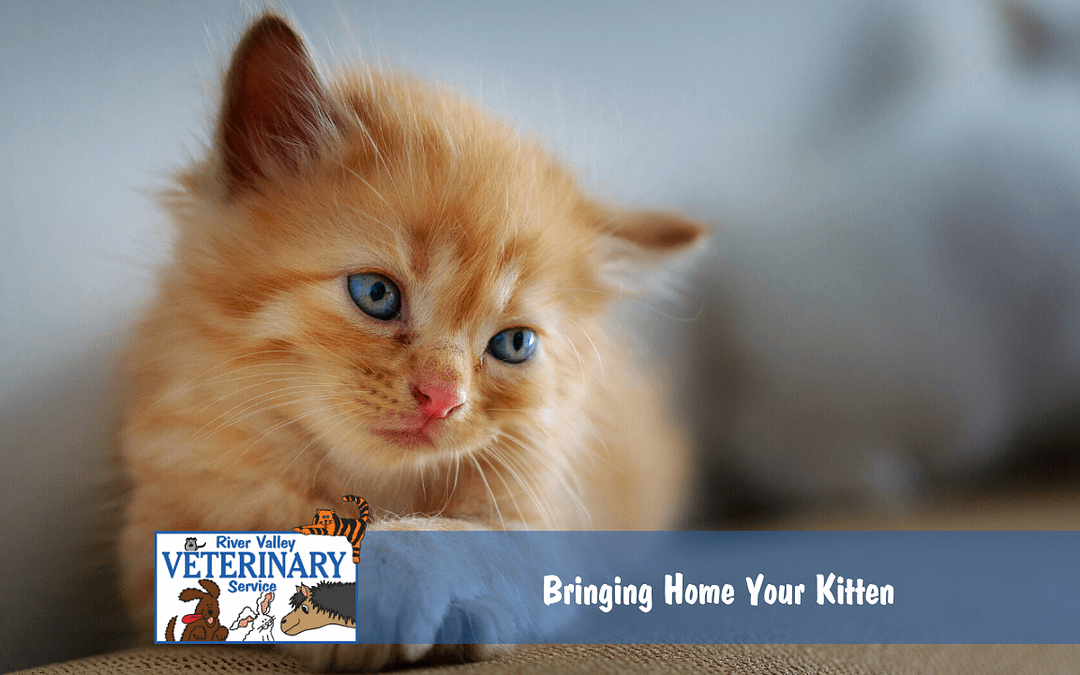 Bringing Home Your Kitten