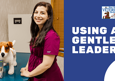 Using a Gentle Leader